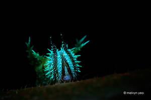UV Fluorescence Caterpillar by melvynyeo