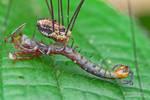 Harvestman eating centipede