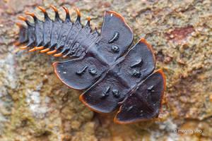 Sleeping Trilobite Beetle by melvynyeo