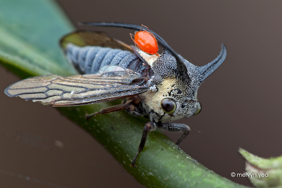 Treehopper with mite by melvynyeo