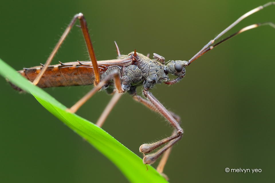 Assassin Bug with midge(?) by melvynyeo