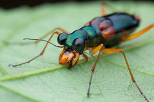 Sleeping Tiger Beetle Therates sp. by melvynyeo