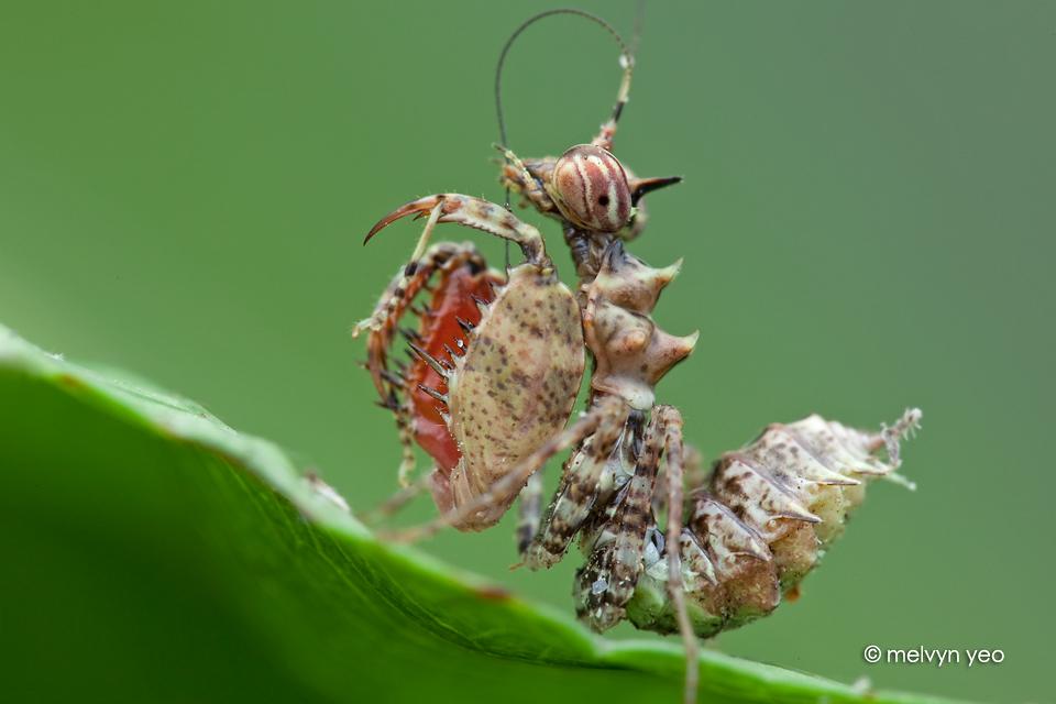 Boxer Mantis Nymph