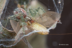 Nursery web spider by melvynyeo