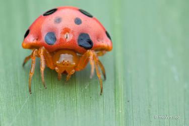 Ladybird Spider (Paraplectana sp.) by melvynyeo