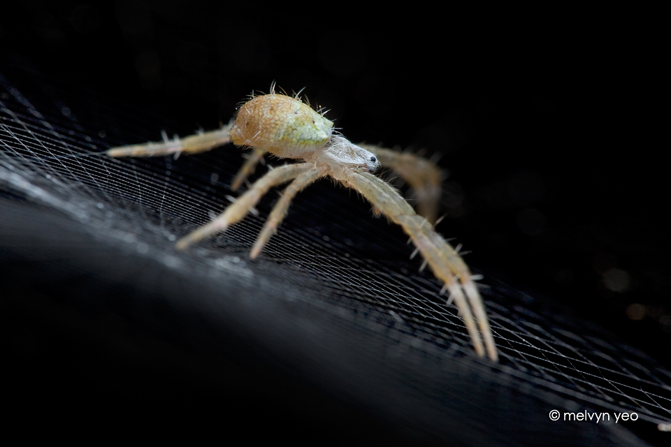 Juveniles St Andrew Cross spider by melvynyeo