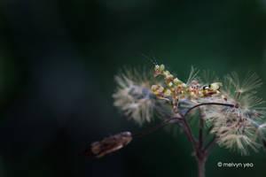 Flower mantis by melvynyeo
