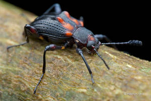 Darkling Beetle(?) by melvynyeo