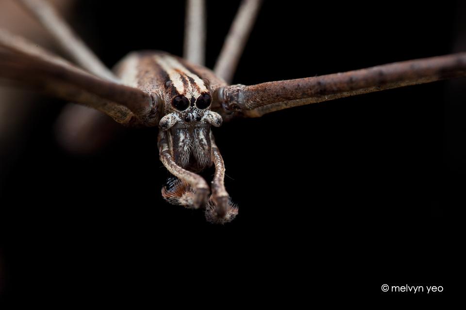 Deinopidae by melvynyeo