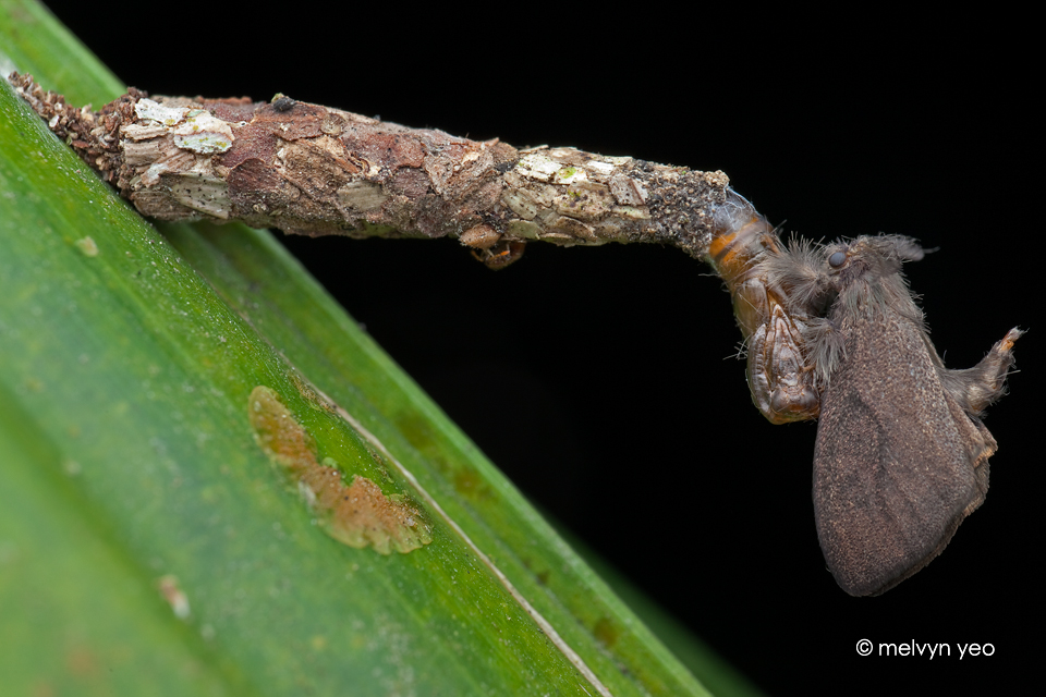 Freshly Moulted Bagworm Moth by melvynyeo