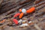 Neanuridae