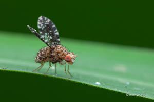 Tephritidae by melvynyeo