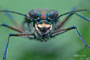Dewy Tiger Beetle by melvynyeo