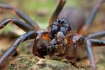 Ant mimic sac spider