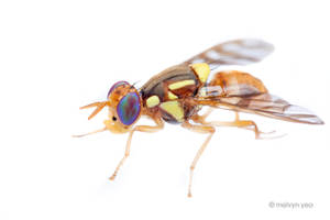 Asian Fruit Fly, Bactrocera sp by melvynyeo