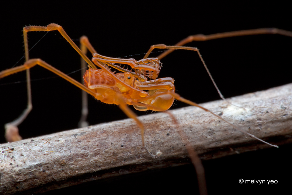 Cool Harvestman by melvynyeo