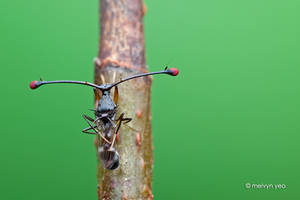 Stalk-eyed fly by melvynyeo