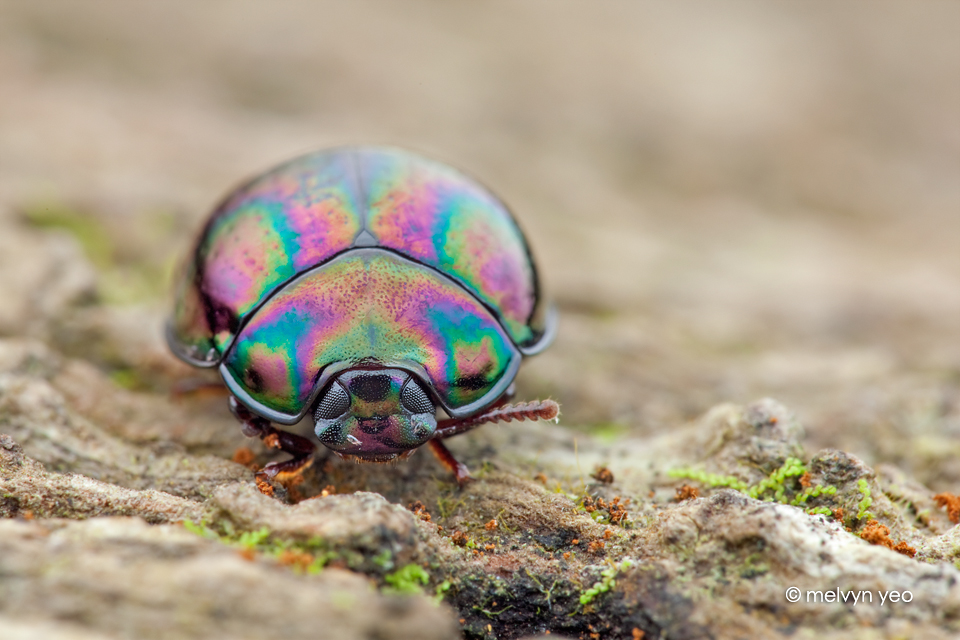 Darkling Beetle (?) by melvynyeo