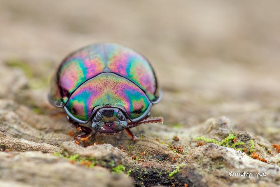 Darkling Beetle (?) by melvynyeo
