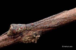 Bruneipisinus sp. by melvynyeo