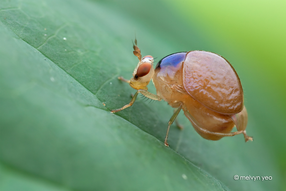 Celyphidae by melvynyeo