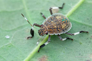 Pretty Shield Bug Nymph by melvynyeo