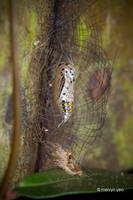 Arctiidae Caged Cocoon by melvynyeo