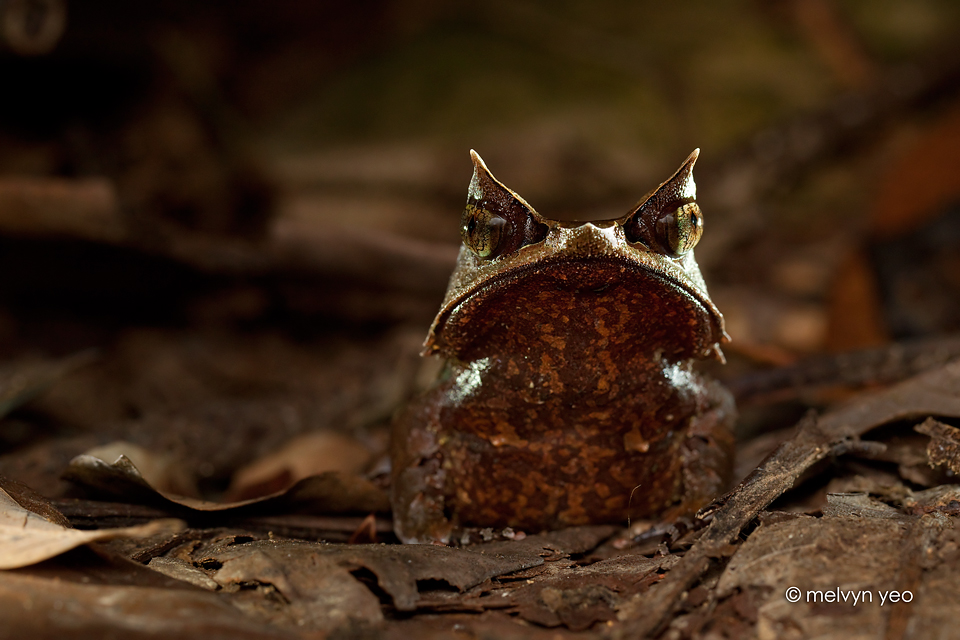 Malayan Horned Frog by melvynyeo