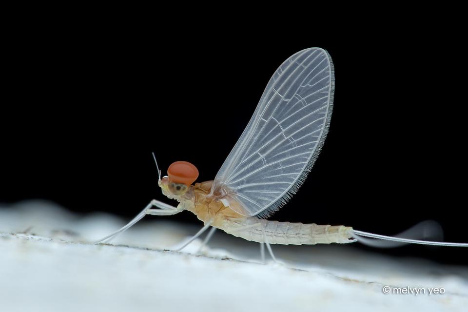 Mayfly by melvynyeo