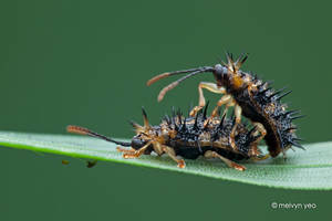 Mating Leaf-mining Beetles by melvynyeo