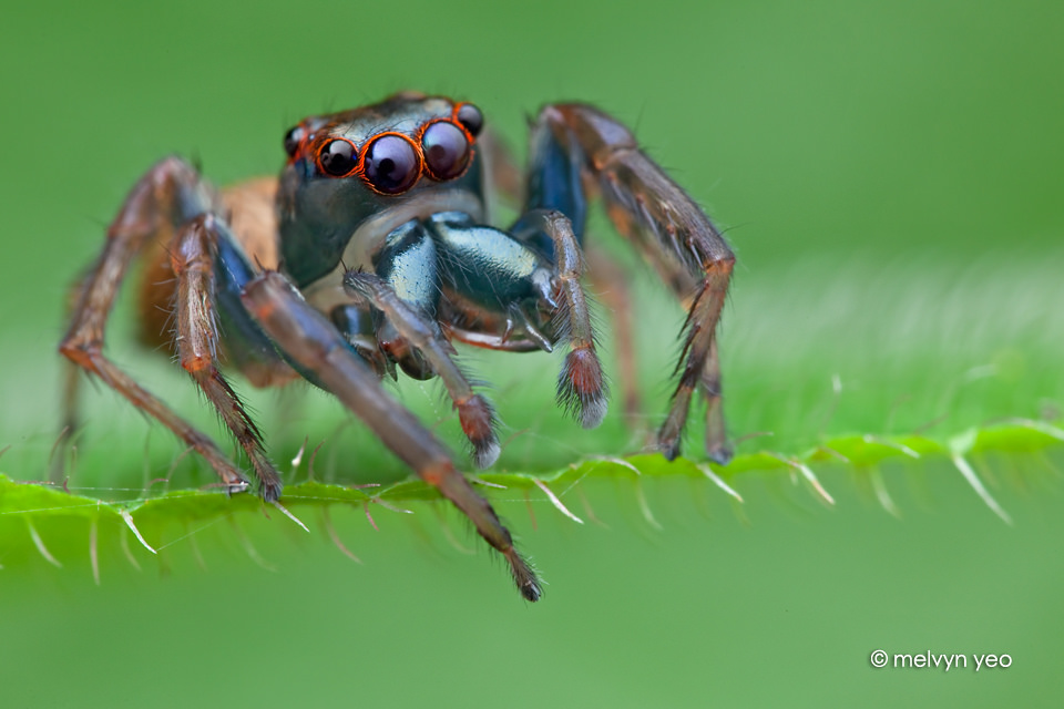 Bluish Jumping Spider by melvynyeo