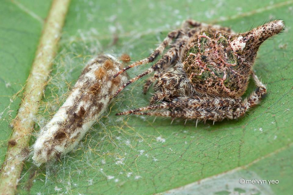 Laglaise 39 s garden spider eriovixia with egg sac by melvynyeo on deviantart for Garden spider egg sac