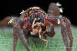 Wandering Spider feeding