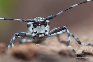 Black and White Longhorn Beetle by melvynyeo