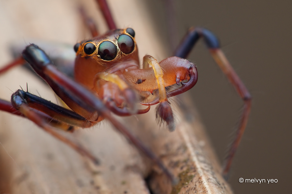 Wide jawed Viciria jumping spider by melvynyeo