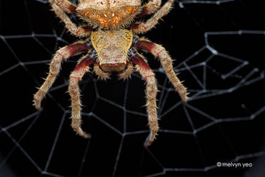 Orb weaver spider (Parawixia sp) by melvynyeo
