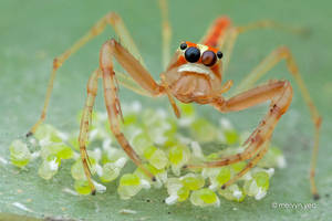 Wide-jawed Viciria and her eggs by melvynyeo