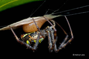 Argiope laying eggs by melvynyeo