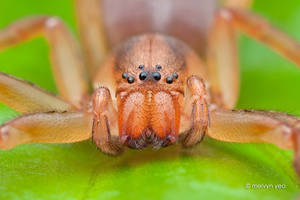 Orange Huntsman spider by melvynyeo