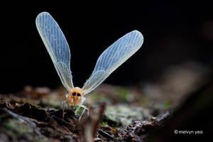 Derbidae by melvynyeo