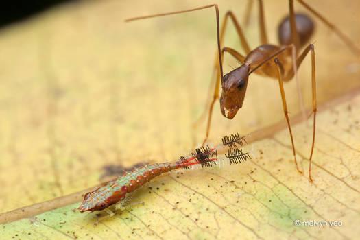 Ant milking Leafhopper nymph (Selenocephalinae)