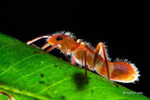 Ant mimic Alydidae by melvynyeo