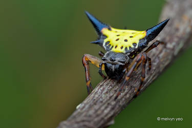 Spiny Orb-Weaver Spider by melvynyeo