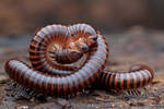 Mating Millipede