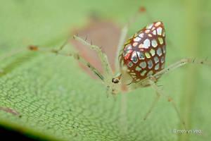 Mirror spider (Twaitesia sp.) by melvynyeo