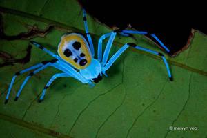 Platythomisus sp. under UV light by melvynyeo