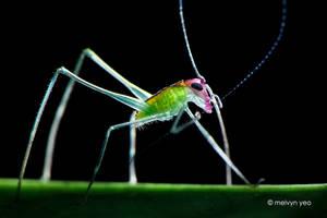 Phaneropterinae Katydid Nymph