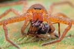 Huntsman Spider with Ground Spider prey