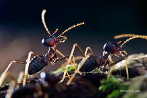 Nasutitermitinae Termite Soldier by melvynyeo