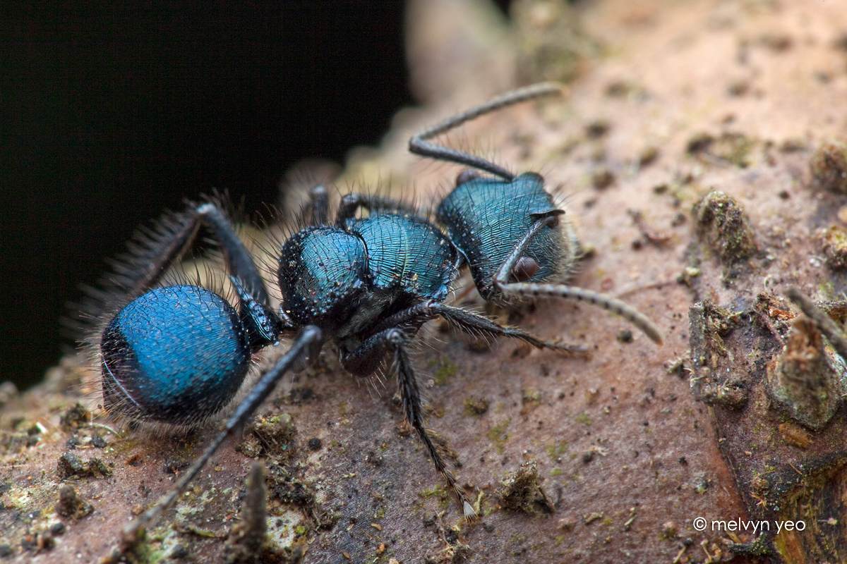 Blue Ant Echinopla Sp By Melvynyeo On Deviantart